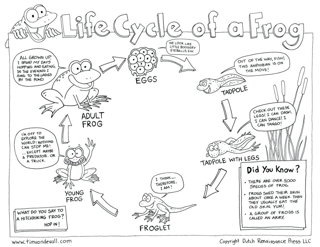 Frog Life Cycle Printable – Shoppingforu.club | Life Cycle Of A Frog Free Printable Worksheets