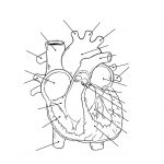Health Archives   Tim's Printables | Heart Diagram Printable Worksheet