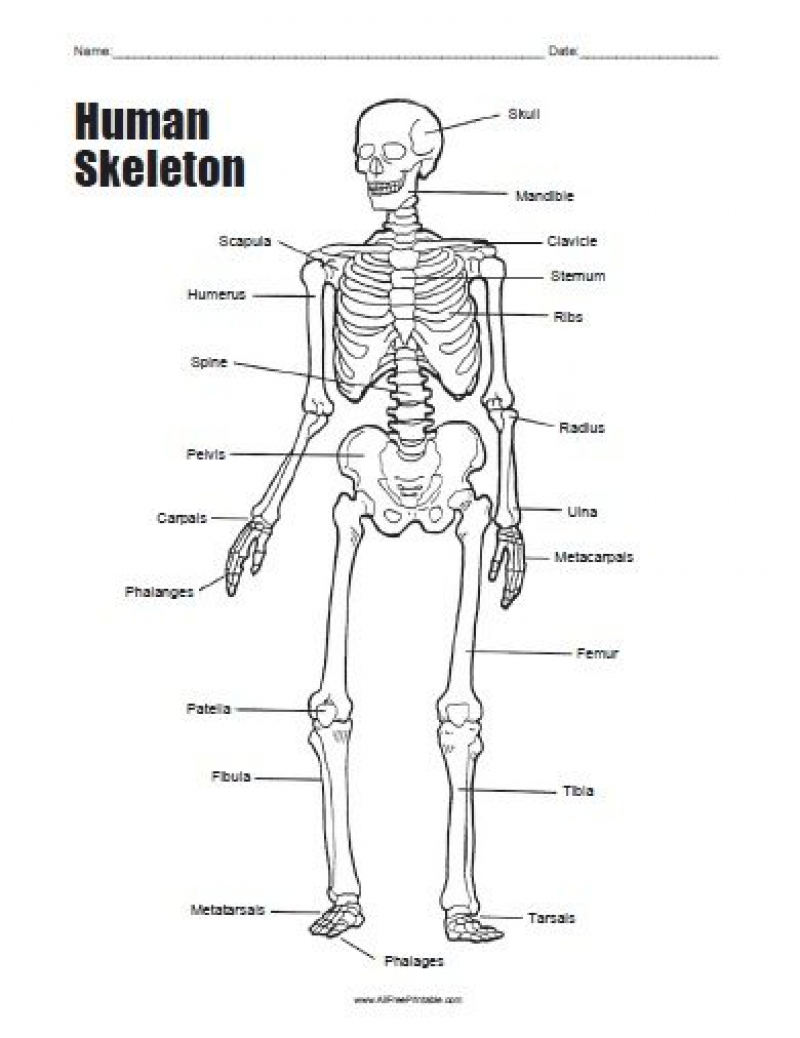 Human Skeleton Bones Worksheet | Tenderness.co | Human Skeleton Printable Worksheet