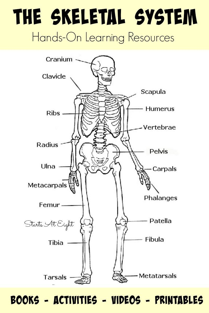 Image Result For Human Skeleton Printable Worksheet | Homeschool | Human Skeleton Printable Worksheet